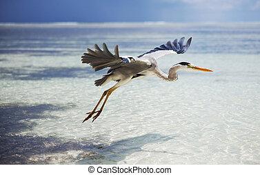 Maldives bird - heron on Maldives