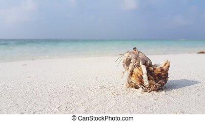 Maldives white sandy beach hermit crab on sunny tropical...