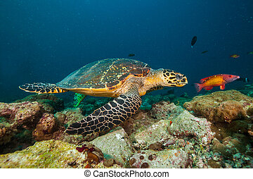 Maldivian hawkbill turtle floating on bottom of sea