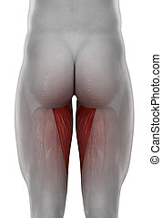 male ADDUCTOR MAGNUS anatomy posterior view isolated