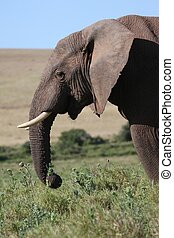 Male African Elephant Eating