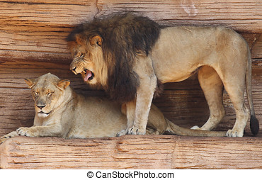 Male African Lion Growling at His Mate - Male African Lion...