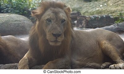 UltraHD video - Enormous, male, African lion, resting in the shade and licking his chops in his habitat enclosure at a zoo.