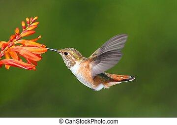 Male Allens Hummingbird (Selasphorus sasin) in flight at a ...