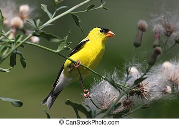 Male American Goldfinch (Carduelis tristis) eating on a thistle flower with a green background
