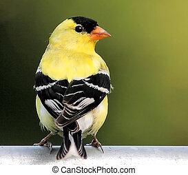 Male American Goldfinch - Male Goldfinch with his back to...