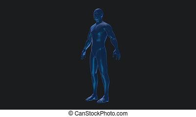 Male anatomical medical body rotation