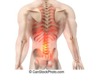Male Anatomy - Back Pain