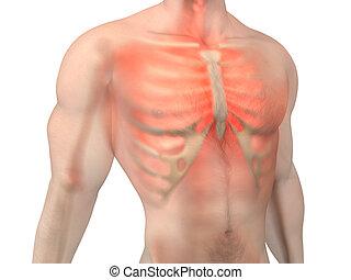Male Anatomy - Chest Pain