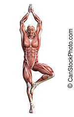 Male Anatomy Figure on White