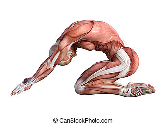 Male Anatomy Figure on White