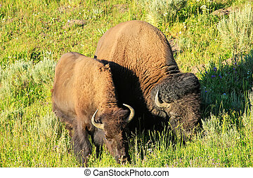 Male and female bison grazing in a field, Yellowstone National Park, Wyoming