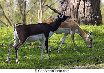 blackbuck gazelle - Male and female blackbuck gazelle