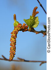 Male and female blossoms of Betula pubescens, the downy...