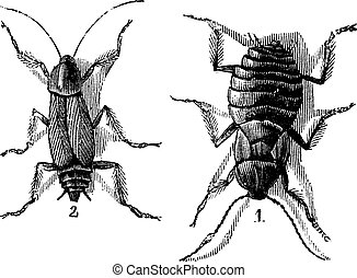Male and Female, Cockroaches, (left) male, (right) female, vintage engraving.