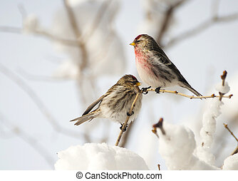 Nice image of a male and female Common Redpoll perched on a lilac branch after a big snow and ice storm.