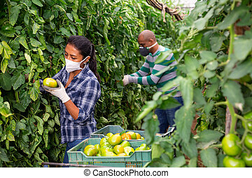 Male and female farm in protective mask workers picking crop of organic tomatoes in glasshouse. Harvest time