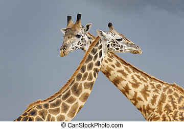 Male and female giraffe during courtship with dark sky in background.