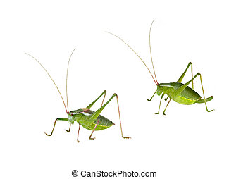 Male and female green bush-crickets ( long horned...