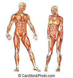 Male and Female Human Body Anatomy