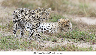 Male and female leopard getting together for mating in nature