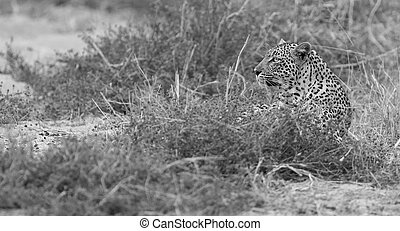 Male and female leopard rest after mating in nature artistic conversion