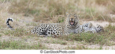 Male and female leopard rest after mating in nature