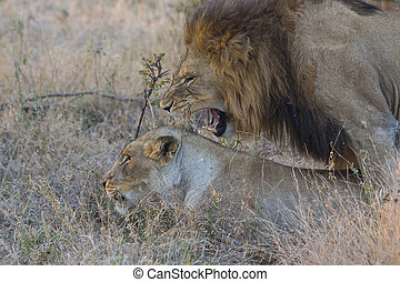 Male and female lion mating 1
