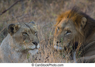 Male and female lion mating 3