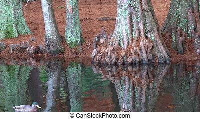 Male and female Mallard wild ducks swim in a pond in New...