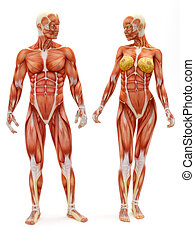Male and Female muscular skeletal system isolated on a white...