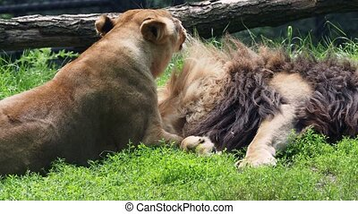Male and female of Katanga Lion, Panthera leo bleyenberghi. Animal love, female licks and cleans male animal fur