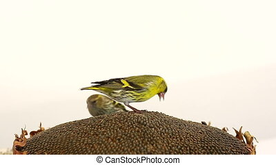 male and female siskin isolated on a white background,...