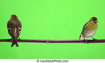 male and female siskin isolated on a green background,...