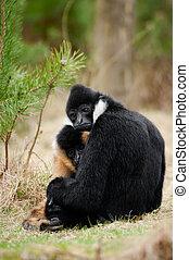 White-cheeked gibbon (Nomascus leucogenys) - Male and female...