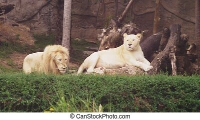 Male and female white lion. The white lions are a colour mutation of the Transvaal lion , Panthera leo krugeri, also known as the Southeast African or Kalahari lion