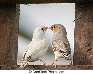Male and Female Zebra Finches sitting on a wooden fence.