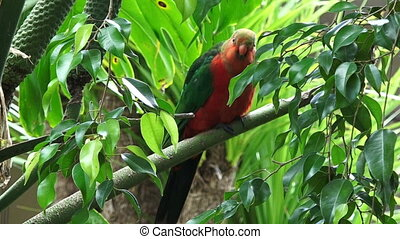 Male Australian king parrot (Alisterus scapularis) sits on a...
