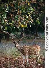 Male Axis or Spotted Deer (Axis axis) INDIA Kanha National Park