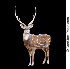 male axis deer