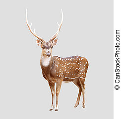 male axis deer isolated on gray background