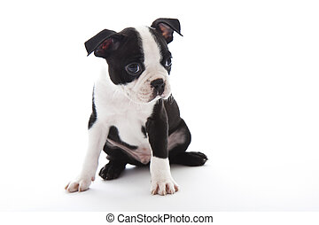 Boston Terrier - Male baby Boston Terrier on white,...