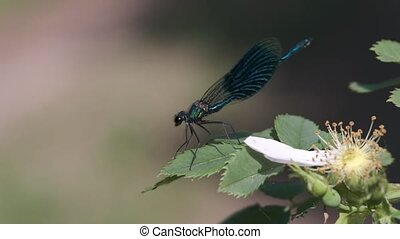 Male Banded Demoiselle in a macro shot - Male Banded...