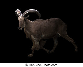 male barbary sheep in the dark