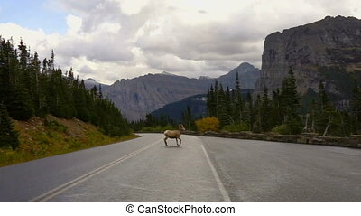 Male Bighorn Sheep Crossing Road Wild Animal Montana Wildlife Ram
