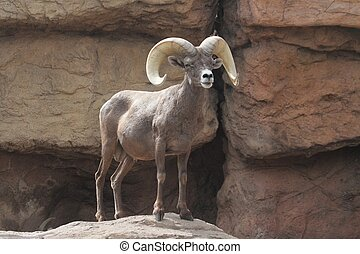 Bighorn Sheep (Ovis canadensis) - Male Bighorn Sheep (Ovis...