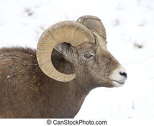 Bighorn Sheep - Male Bighorn Sheep portrait with snow...