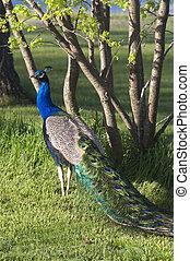 Male Bird Peacock Colorful Bird Animal Wildlife Vertical -...