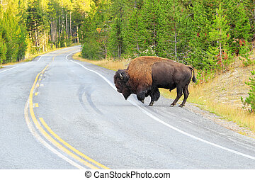 Male bison crossing road in Yellowstone National Park, Wyoming