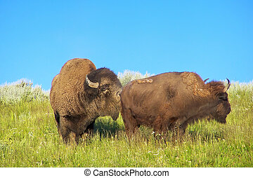Male bison smelling female, Yellowstone National Park, Wyoming